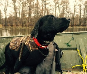 Willie, now 11-months old, retrieved four ducks on his first hunt, while wearing Junior's vest.