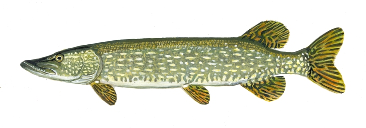 northernpike1